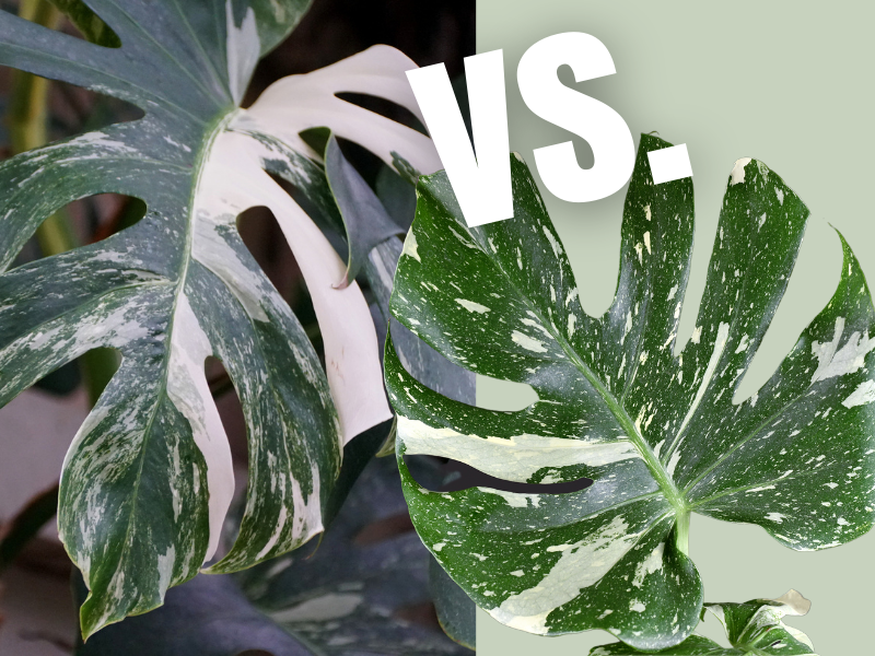 two variegated leaves side by side